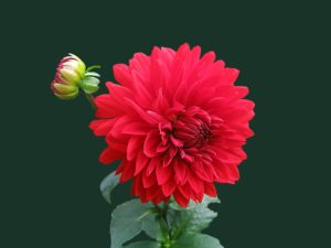 Red dahlia flower-quote of the month